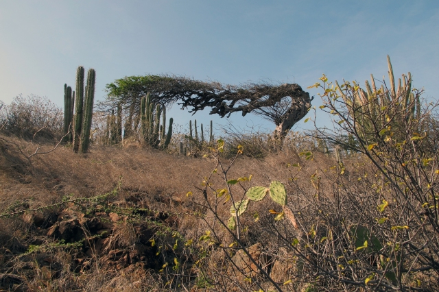 divi tree in aruba